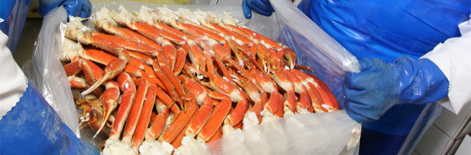 Succulent Atlantic snow crab being lifted into a box for shipment to China